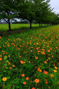 夏の花畑2018藤原宮跡のキバナコスモス - 花景色-K.W.C. PhotoBlog