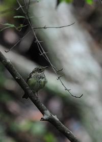 唯一の被曝国のなすべきこと  キビタキ幼鳥・・・何度も水浴びに - 赤いガーベラつれづれの記