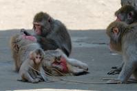 ニホンザルのヤマト君 - 動物園に嵌り中