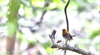 コマドリの住む森Ⅲ - 雅郎の花鳥風月