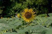 ゴマの花 - あだっちゃんの花鳥風月