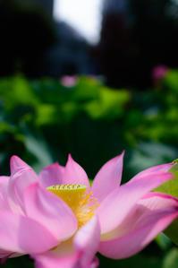 不忍池の蓮 2018 - 幡ヶ谷写真部 ~幡ヶ谷司法書士事務所の写真ブログ~