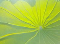 蓮のパラソル… - 侘助つれづれ
