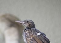 今日の鳥さん 180806 - 万願寺通信