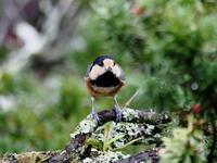 庭のヤマガラ - 自然がいっぱい3