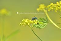 ブルー・ビー - お花びより