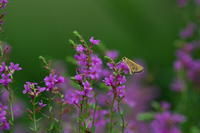 愛らしイチモンジセセリ(一文字挵蝶)他 - 身近な自然を撮る