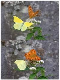 お山の蝶たち2018(スジボソヤマキチョウ/シータテハ) - トドの野鳥日記