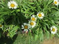 増えていく植物 - Macんち日記