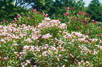 キョウチクトウ(松山総合公園) - かたくち鰯の写真日記2