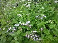 西洋藤袴 - だんご虫の花