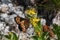 中央アルプスのクモマベニヒカゲ(2018/08/03) - Sky Palace -butterfly garden- II