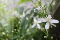 涼やかな白い花 - CHIROのお庭しごと