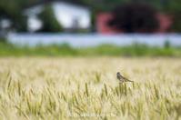 麦畑にホオアカ - ekkoの --- four seasons --- 北海道