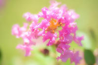 Myrte de crêpe - Une fleur