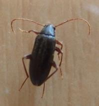 #甲虫 『朽木虫』Allecula melanaria - 自然感察 *nature feeling*
