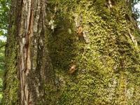 #セミ  『抜け殻』蝦夷春蝉Terpnosia nigricosta - 自然感察 *nature feeling*