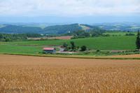 かしわ園から麦の風景~7月の美瑛 - My favorite ~Diary 3~