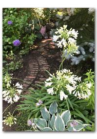 庭も夏の装い - 雪割草 - Primula modesta -