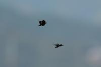 チョウトンボとハネビロトンボの飛翔Byヒナ - 仲良し夫婦DE生き物ブログ