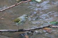 センダイムシクイの幼鳥 - 上州自然散策2