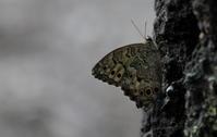 2018 猛暑も一休み - 紀州里山の蝶たち
