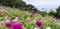 丸いキャンディーのような花姿のセンニチコウ - 神戸布引ハーブ園 ハーブガイド ハーブ花ごよみ