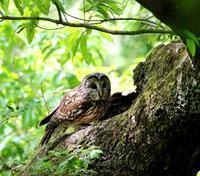 春先に出会ったフクロウを(その3)・・・ - 一期一会の野鳥たち