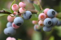 ブルーベリーなど木の実と、蝶ウラナミシジミ - 子猫の迷い道Ⅱ