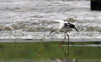 一羽のコウノトリ川岸で (その2飛び出し) - 私の鳥撮り散歩