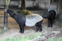 水浴するマレーバク - 動物園放浪記