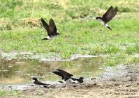 イワツバメ、早く渡来したものは前年の巣を使い二回繁殖 - THE LIFE OF BIRDS ー 野鳥つれづれ記