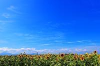 向日葵畑 - 美は観る者の眼の中にある