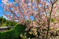 Finale! 桜咲く京都2018圓光寺の八重桜 - 花景色-K.W.C. PhotoBlog