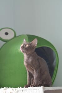 紅ちゃん、1歳。 - タイ猫とお昼寝。