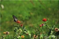 アゲハチョウとヒャクニチソウ2 - 今日のいちまい
