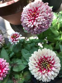 私の庭のピンク色の花達 - piecing・針仕事と庭仕事の日々
