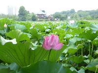 不忍の池の蓮が満開だったから行ってみて♪上野公園はいろいろ楽しめる♪ - ルソイの半バックパッカー旅