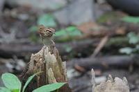 ヤブサメ - 上州自然散策2