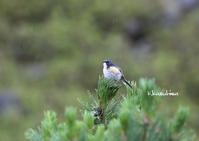 雨の中でのルリビタキ - ukiwa-mの気ままなブログ