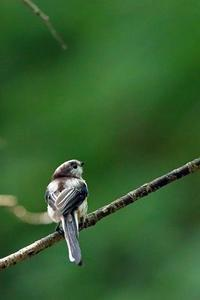 若いエナガ - 比企丘陵の自然