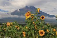 ひまわりを撮っていたら~蝶が - 富士山大好き~写真は最高!