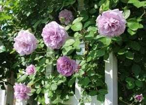 バラの挿し木が成功♪ - HOME SWEET HOME ペコリの庭 *