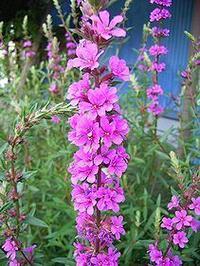 8月13日の花は「ミソハギ」 - 酒井徹の網絡日誌――日記帳 過去の私と対峙(たいじ)する――