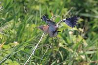 ヨシゴイ 藍色の花が - 気まぐれ野鳥写真