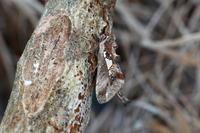 ウスイロギンモンシャチホコ - Insect walk