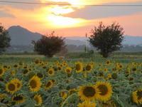 夕日と向日葵 - 猪こっと猛進