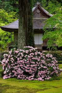 石楠花満開の三千院 - 花景色-K.W.C. PhotoBlog