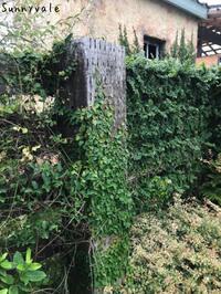 壁面を彩るツタ系植物 - さにべるスタッフblog     -Sunny Day's Garden-