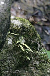 ミソサザイ - 雅郎の花鳥風月